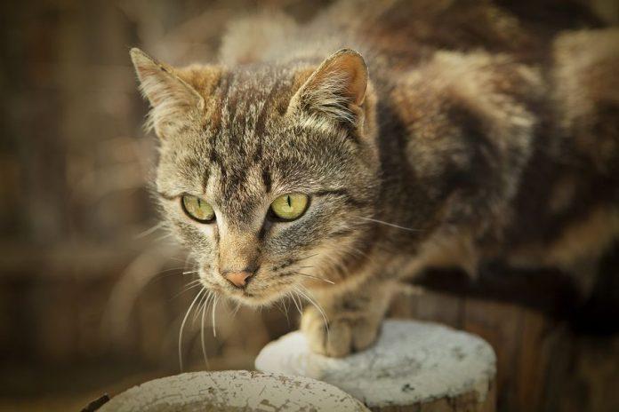 Brown Cat Stalking Prey