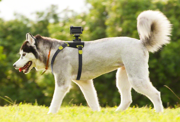photo of a dog wearing the Sony Action Cam and harness