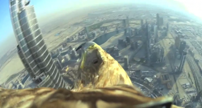 Darshan the eagle flew from the top of the Burj Khalifa in Dubai